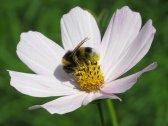 pszczoła spijająca nektar z kwiatu