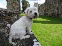 Biały mały pies