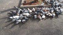gołębie, ptaki